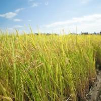 ★送料無料★特別栽培米こしいぶき(白米)30kg